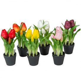 Cserepes tulipán 5v. M23cm 12db/#