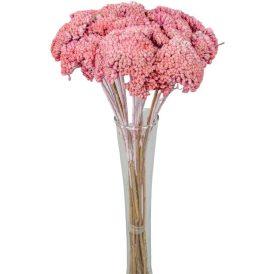 Achillea szárított fehérített rózsaszín