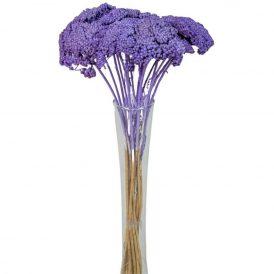 Achillea szárított sötét lila