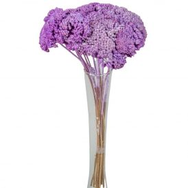 Achillea szárított világos lila